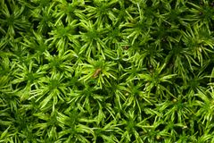Green moss texture or background macro, selective focus, shallow DOF Royalty Free Stock Photo