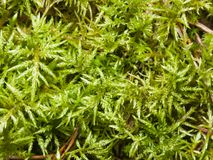 Green moss texture or background macro, selective focus, shallow DOF Stock Photo