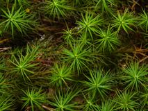 Green moss texture or background macro, selective focus, shallow DOF Royalty Free Stock Image