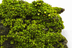 Green moss - texture and background Royalty Free Stock Image