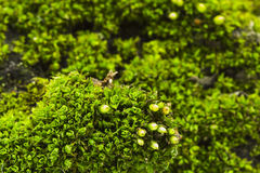 Green moss - texture and background Royalty Free Stock Photos