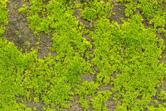 Green moss texture Stock Images