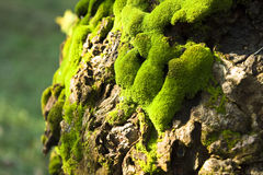 Green moss on a tree Royalty Free Stock Photo