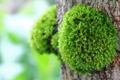 Green Moss on the Tree Stock Photo