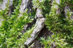 Green moss on tree bark closeup. horizontal Stock Photo