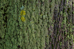 green moss on a tree bark Stock Photography