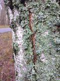 Green moss on the tree. Beautiful green moss on the tree near the road Stock Photography