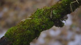Green moss on a tree branch in an autumn forest. cinematic shot. nature, landscape.  stock video footage
