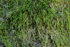 Green moss on a tree. Close-up of green moss on a tree Royalty Free Stock Photo