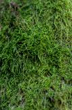 Green moss on a tree. Close-up of green moss on a tree Royalty Free Stock Image
