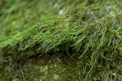 Green moss on a tree. Close-up of green moss on a tree Royalty Free Stock Images