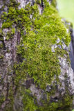 Green moss tree Royalty Free Stock Image