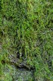 Green moss on a tree. Close-up of green moss on a tree Stock Photos