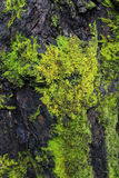 Green Moss on Tree. Detail of moss on a tree trunk with moss-covered background Stock Photos