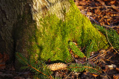 Green moss on a tree Royalty Free Stock Photos