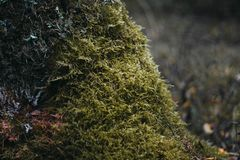 Green moss on a tree in the forest close-up. Surface covered with moss. Macro moss. Moss in the forest royalty free stock photo