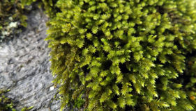 Green moss on the tree. Mosses are small flowerless plants that typically grow in dense green clumps or mats, often in damp or shady locations Royalty Free Stock Image