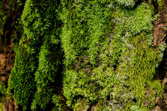 Green moss on the tree. mossy bark background. Royalty Free Stock Image