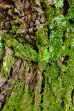 Green moss on the tree. mossy bark background. Stock Photo