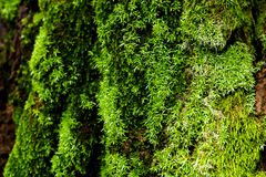 Green moss on the tree. mossy bark background. Royalty Free Stock Photos