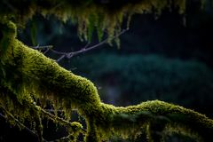 Green moss on tree in Pacific Northwest. The limb of a tree covered in green moss in Washington state, Pacific Northwest Royalty Free Stock Photography