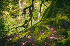 Green Moss Tree Roots. In Forest royalty free stock image