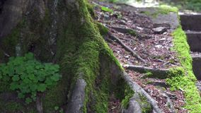 Green moss on tree roots. Old stone stair in the forest. Squirrel in the forest stock video
