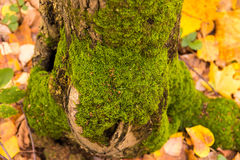 Green moss on a tree trunk against a background of fallen yellow leaves Stock Images