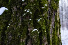 green moss tree trunk close-up forest snow winter royalty free stock photos