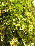 Green moss in tree. Green, wet moss in tree bark, texture Royalty Free Stock Photography