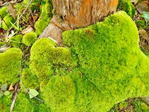 Green moss Stock Images