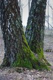 Green moss on the trunks of birch tree Stock Image