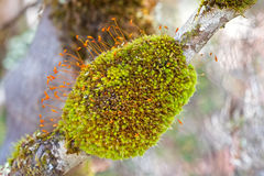 Green moss tuft lump with Sporophytes and orange capsules coveri. Closeup of green moss tuft lump with Sporophytes and orange capsules covering branch of tree in Royalty Free Stock Photography