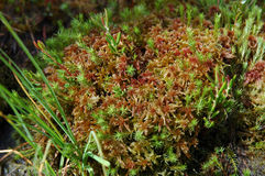 Green moss, turf bog Royalty Free Stock Images