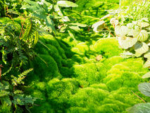 Green moss, of the variety Dicranum scoparium Stock Photos