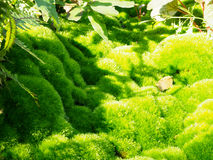 Green moss, of the variety Dicranum scoparium Royalty Free Stock Images