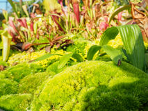 Green moss, of the variety Dicranum scoparium Stock Photo