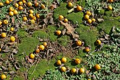 GREEN MOSS AND VEGETATION AND YELLOW LOQUAT FRUIT stock photography