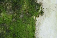 Green Moss on wall. Stock Image