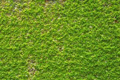 Green Moss on wall texture Stock Images
