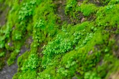 Green moss on wet stone in rainforest. With moisture Royalty Free Stock Photography
