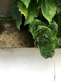 Green moss on white as a wide border royalty free stock photo