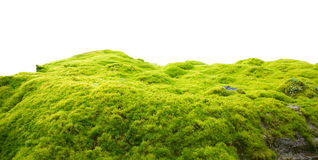 Green moss. On white background Stock Image