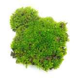 Green moss on white background Royalty Free Stock Photography