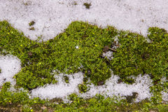 Green moss is in the white snow which sparkles.  Royalty Free Stock Images