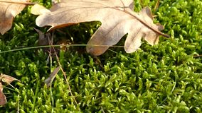 Green moss and yellow leaves. Autumn in the forest stock video footage