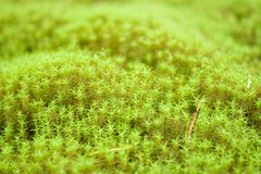 Green mosses. Clumps of a mosses in the woods Royalty Free Stock Images
