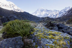 Green mosses among the plant grow in Mount Cook National Park. Royalty Free Stock Image