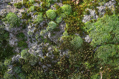 Green mosses on rock Royalty Free Stock Photo