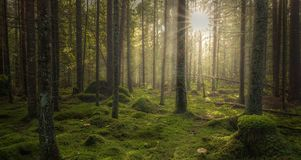 Green mossy forest with beautiful light from the sun shining. Between the trees in the mist. Mysterious cozy atmosphere stock photography